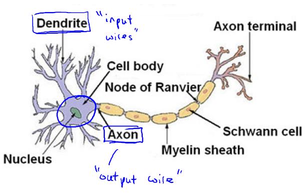 大脑中的神经元-我爱公开课-52opencourse.com